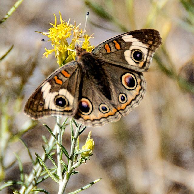 Butterflies of the High Desert