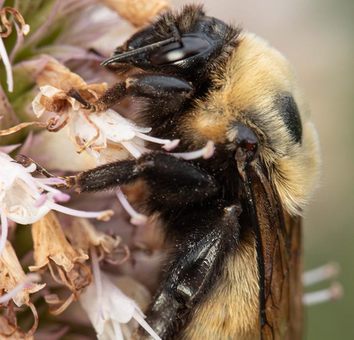 Alpine Pollinator Ecology 2020