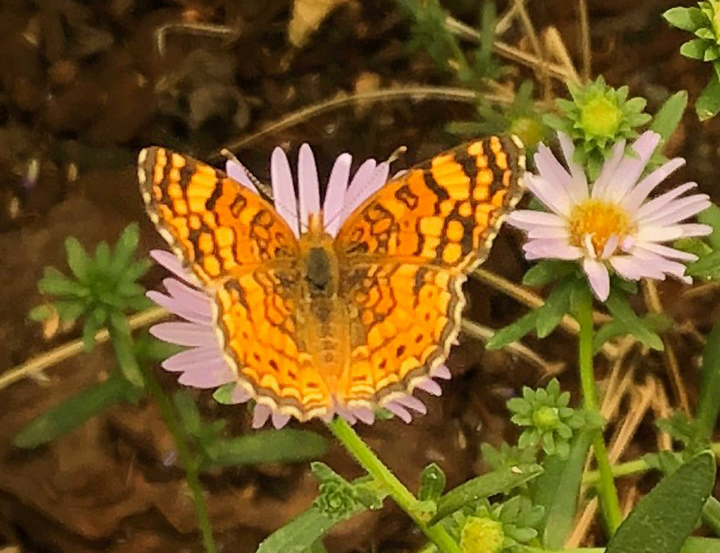 Great Basin Butterfly 2020